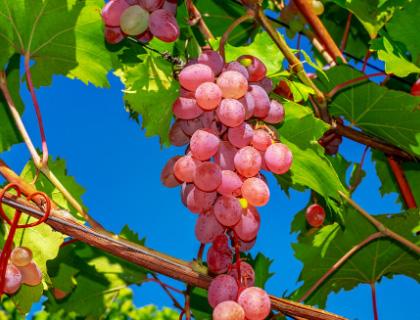Vinos Rosé